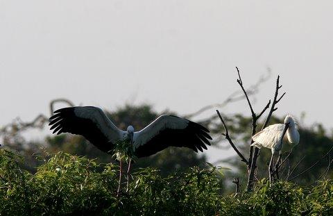 openbill stork and spoonbill ranganathittu