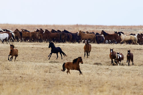 gathering mares 086