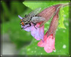 La Mouche (-VRo-) Tags: fleurs bravo yeux mouche bestiole bbittes buzznbugz buzzandbugz photoqubec lysdor mpdquebec