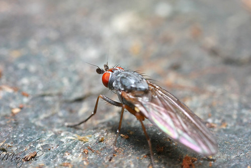 Fly red-eyes °1