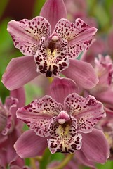 Cymbidium Strathdon 'Cooksbridge Fantasy' (Eric Hunt.) Tags: sanfrancisco california pink orchid flower weird orchidaceae spotted cymbidium peloric cymbidiumstrathdoncooksbridgefantasy malihini2008