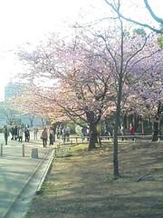 青葉の森の河津桜