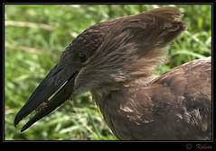 Hamerkop (Kelvin_) Tags: bird birds canon wings wildlife feathers kelvin hamerkop avianexcellence 15challengeswinner