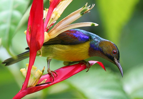 Brown-throated Sunbird, Anthreptes malacensis