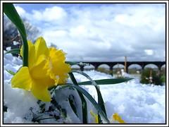 daffodil in snow.