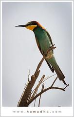 Merops Apiaster (Hamad Al-meer) Tags: color green bird colors birds canon eos 400 hd hamad 30d merops apiaster supershot aplusphoto hamadhd hamadhdcom wwwhamadhdcom