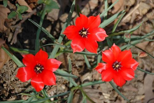 Tulipa linifolia