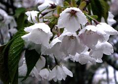 sakura close (Paul Hillier Photography) Tags: japan spring sakura kansai mountians yoshino