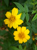 Yellow Flowers (DSCN0947)