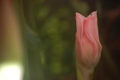Soft pink bud