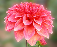 "Beautiful Dahlia (JS ""The wanderer"") Tags: pink dahlia india flower macro nature fleur closeup garden nikon decorative flor hoe greenery blomma bunga punjab flose blume fiore blomst hoa bloem ludhiana iek floro kwiat ciuri kukka bloeme cvijet fior phul kvt phool floare pushp blodeuyn blome  ziedas pangara jasbirsingh methewanderer piruqtusajaq wayta cvetkembang"