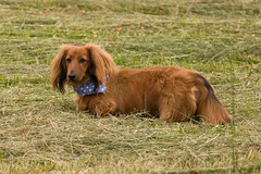 Max in the Hay Field (K. W. Sanders) Tags: dog pet brown grass miniature longhair adorable dachshund hay