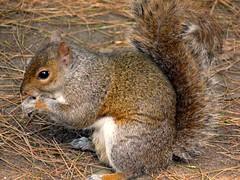 Bon Appetit Monsieur Squirrel :) (Rastaleesha) Tags: dublin gardens botanical grey squirrel photographer excellent awards pigawards