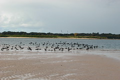 squadron (yakidkay) Tags: beach water birds fauna flying flock australia nsw ballina vformation