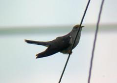Cuckoo male