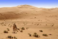 The Desert (TARIQ-M) Tags: texture landscape sand waves desert dunes camel camels riyadh saudiarabia بر الصحراء جمال الرياض صحراء رمال جمل ابل رمل طعس نياق المملكةالعربيةالسعودية canon400d الرمل ناقة خطوط نفود الرمال كثبان تموجات canonefs18200mmf3556is تموج نفد