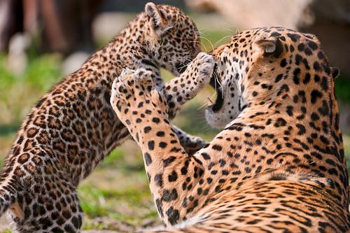 フリー写真素材, 動物, 哺乳類, ジャガー, 家族・親子(動物),