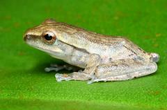 Waiting.. (kampang) Tags: frog fourlinedtreefrog