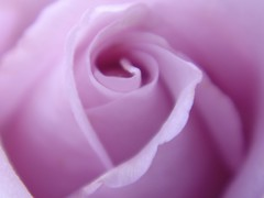 Purple Dream (Lyubov) Tags: roses nature rose ilovenature explore lilac photo flowerotica thebiggestgroup diamondclassphotographer flickrdiamond queenrose