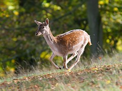 Running Fallow Deer (Mark_Coates) Tags: copyright startled c running deer allrightsreserved markcoates gmcoates beautifulworldchallenges availableforuseunderlicense