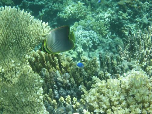 Makogai fish 1