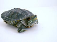 red turtle ear slider