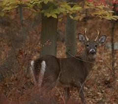 White-tailed Deer Scherman-Hoffman (Chuck Smart) Tags: deer whitetailed schermanhoffman
