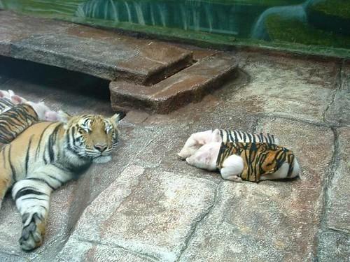 'Tiger' Cubs