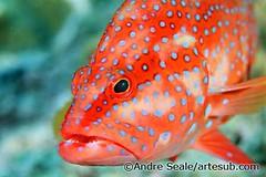 Coral grouper-Tailandia