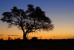3 girafes (teocaramel) Tags: nature animal soleil coucher animaux namibia etosha coucherdesoleil sauvage girafes faune namibie jpb blueribbonwinner supershot passionphotography 25faves mywinners abigfave anawesomeshot aplusphoto superbmasterpiece favemegroup3 favemegroup6 goldstaraward