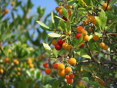 "palace garden ""strawberry tree"" in yalta (axiepics) Tags: travel orange tree fruit garden europe ukraine ukrainian crimea yalta strawberrytree arbutusunedo crimean livadia crimeanpeninsula ukrainska copyrightalexskellyallrightsreserved"