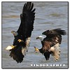 Catching it is less than half the problem (Nikographer [Jon]) Tags: fish water lenstagged md nikon december eagle bald maryland dec prey fighting nikkor eagles steal stealing 2007 susquehannariver competing baldeagles d300 80400mmf4556dvr conowingodam nikographer nikond300 20071220d30001759 jss20081