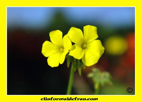 Flor de la vinagreta copia