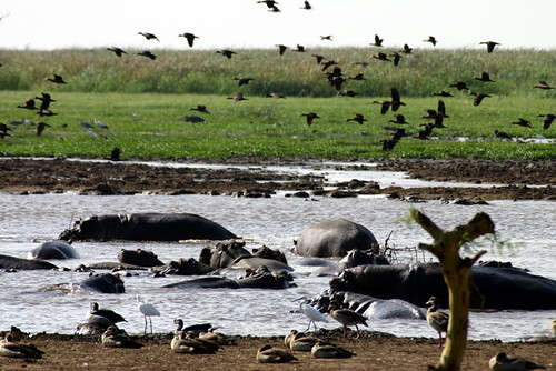 Hippo Pond in Lake Manyara National Park
