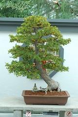 Bonsai Elm