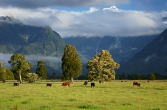 Cows grazing in evening sun (Kenny Muir) Tags: new trees light west landscape coast cow cook glacier mount zealand fox tasman goldstaraward
