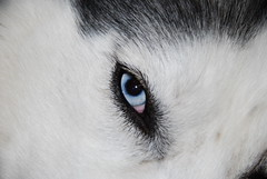 Eye of the Husky (Jasen Miller) Tags: dog pet pets cute dogs closeup hair puppy puppies husky long mush coat einstein longhair huskies siberianhusky awww siberian wooly mushing aboyandhisdog cannine sibe sibes abhd macrosiberianhusky woolycoatsiberianhusky