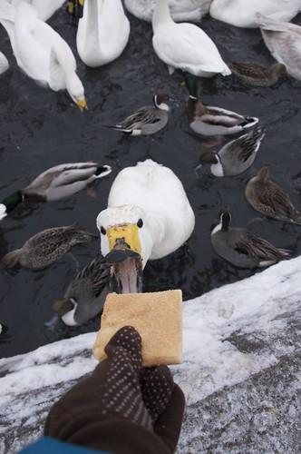 swan #4