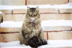 ice queen (mosippy) Tags: winter snow lucy minneapolis snowday icequeen blueribbonwinner catinsnow canonef70200mmf28lis lucyanddoo winter08