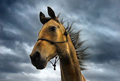 gold with the wind (Dan65) Tags: sky horse gold golden 5 explore thoroughbred pedigree buckskin dun teke akhal akhalteke mywinners gazan diamondclassphotographer