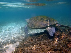 Green Sea Turtle (charithra Hettiarachchi) Tags: underwater powershot snorkeling hikaduwa canon sri lanka is a720 housing wpdc6