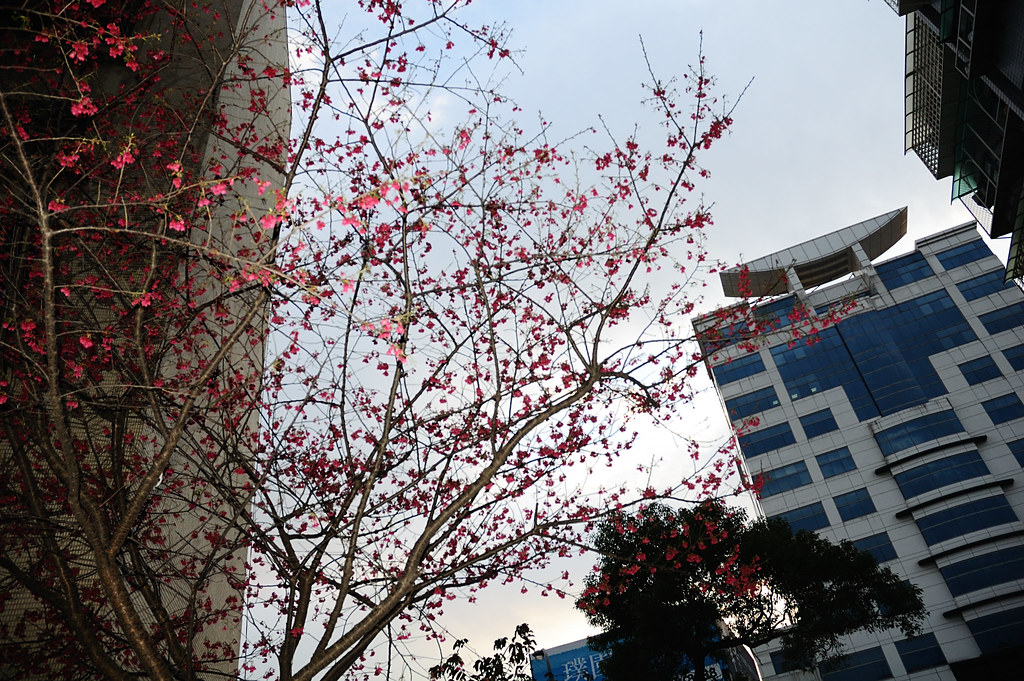一個禮拜前還開得很茂盛的櫻花