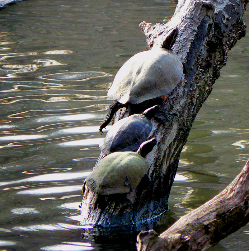 Bronx Turtles