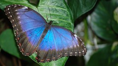 Iridescent blue winged butterlfy