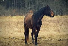 shaggy (.brioso.) Tags: horse spring shaggy sir