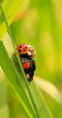 Hot stuff ! (baloochester(more than slow)) Tags: red macro nature canon ladybird ladybug coccinelle naturesfinest flickrsbest mywinners macromarvels baloochester