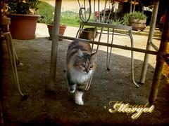 Margot (*Tom [luckytom] ) Tags: tom cat interestingness chat le mostinteresting margot gatto gatta ctm favcol erri luckytom