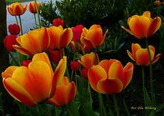 darwintulips (Per Ola Wiberg ~ Powi) Tags: friends sweden visualarts loveit explore harmony quintaflower 2008 soe visualart floraandfauna maj flowerbox musictomyeyes aclass beautifulflowers tulpaner flowersofspring photohobby bloomingflowers floralfantasy supershot eker wrangels fineartphotos golddragon natureplus mywinners abigfave platinumphoto flickrhearts superphotos blueribbinwinner photosandcalendar citrit heartawards theunforgettablepictures photostosmileabout eperke colormyworlddaily colourartaward betterthangood everydayissunday mymagicyellowdress natureselegantshots colourvisions explorewinnersoftheworld thegoldenflower wonderfulworldofflowers rubyphotographer mimamorflowers flickrsbestpictures qualitypixels fotosconestilo overtheshot awesomeblossoms thedigitographer naturescreations theflowerbasket flowercauleleaf amazingdetails saariysqualitypicturesgallery thebestofmimamorsgroups passionoftheheart selectedflowers beautifulfloras naturesgreenpeaceaward flickrsgottalent thenaturessoul ~~cherishyourdreamsandvisions~~ flowersmania floresfioretuttifiori peaceandheart elisfavoriteflowers lovelyflowersgroup