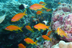 School of Jewel Fairy Baslet at Similan Islands