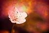 Cherry blossom painting (manganite) Tags: pink trees red orange plants macro texture nature topf25 colors closeup digital germany campus cherry geotagged interestingness spring nikon colorful europe university bonn dof seasons bokeh tl branches blossoms overlay explore 桜 cherryblossom sakura d200 nikkor dslr toned vignette textured 50mmf18 sakuranohana northrhinewestphalia interestingness332 i500 utatafeature manganite nikonstunninggallery date:year=2008 geo:lat=5072695 geo:lon=7086093 date:month=april date:day=20 format:ratio=32